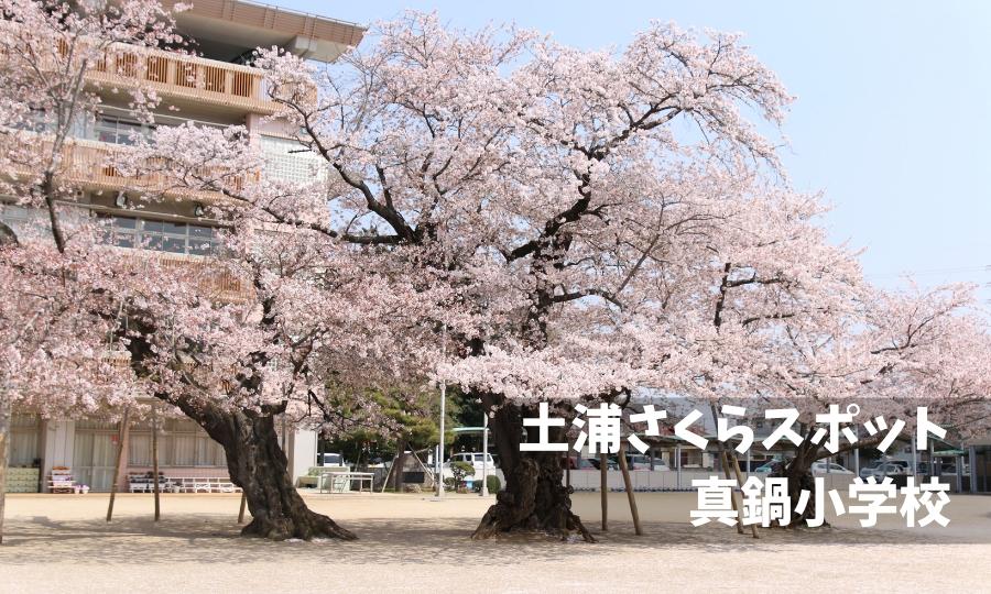 真鍋小学校桜